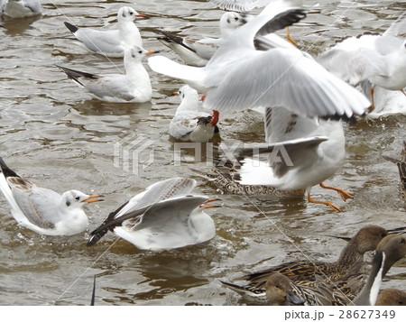 稲毛海浜公園に飛来したユリカモメ 28627349