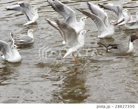 稲毛海浜公園に飛来したユリカモメ 28627350