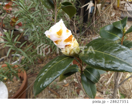 もう直ぐ咲く白い椿の蕾 28627351