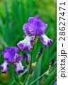 菖蒲 ショウブ 花の写真 28627471