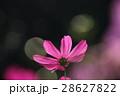花 コスモスの花 センセーションの写真 28627822