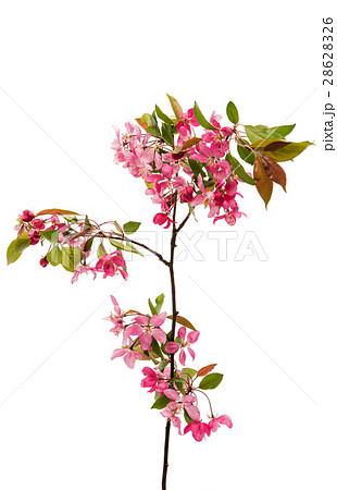 pink flowers on an apple-treeの写真素材 [28628326] - PIXTA