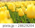 チューリップ 花 黄色の写真 28629204