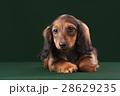 動物 ダックスフンド わんこの写真 28629235