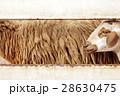 Brown sheep in farm, Thailand 28630475