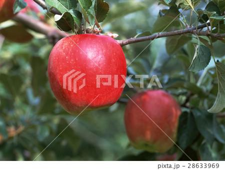リンゴの木 28633969