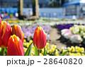 チューリップ チューリップ畑 春の写真 28640820