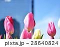 チューリップ チューリップ畑 春の写真 28640824