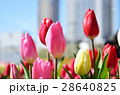 チューリップ チューリップ畑 春の写真 28640825
