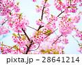 桜 河津桜 目白の写真 28641214