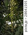 サガリバナの蕾 28641505