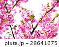 桜 河津桜 目白の写真 28641675