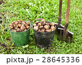 Freshly dug potatoes in metal bucket and shovel  28645336