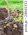 Freshly dug potatoes and shovel on the farm  28645352