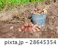 New organic potatoes in metal bucket  28645354