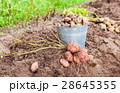 New organic potatoes in metal bucket  28645355