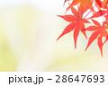 イロハモミジ 紅葉 モミジの写真 28647693
