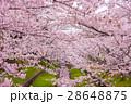 満開の桜 28648875