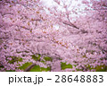 満開の桜 28648883