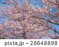 桜 花 ソメイヨシノの写真 28648898