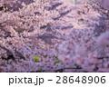 満開の桜 28648906