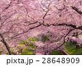 桜 花 ソメイヨシノの写真 28648909