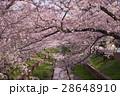 桜 花 ソメイヨシノの写真 28648910