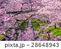 桜 花 ソメイヨシノの写真 28648943