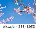 満開の桜 28648953