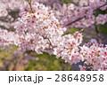 桜 花 ソメイヨシノの写真 28648958