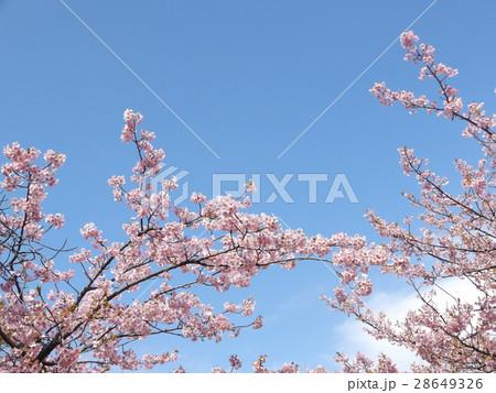 満開になった稲毛海岸駅前のカワヅザクラ 28649326
