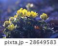 春を告げる花 28649583