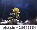 春を告げる花 28649584