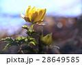 春を告げる花 28649585