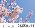 桜 花 ソメイヨシノの写真 28650144