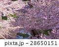 満開の桜 28650151
