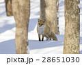 動物 狐 キタキツネの写真 28651030