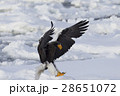 大鷲 猛禽類 鳥の写真 28651072