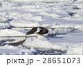 大鷲 猛禽類 鳥の写真 28651073