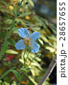 ヒマラヤの青いケシ 28657655