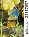 ヒマラヤの青いケシ 28657657