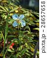 ヒマラヤの青いケシ 28657658