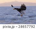 大鷲 猛禽類 鳥の写真 28657792
