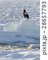大鷲 猛禽類 鳥の写真 28657793
