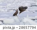 鳥 猛禽類 冬の写真 28657794