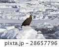 鳥 猛禽類 冬の写真 28657796