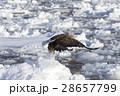 鳥 猛禽類 冬の写真 28657799