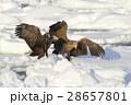 鳥 猛禽類 冬の写真 28657801
