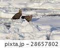 鳥 猛禽類 冬の写真 28657802