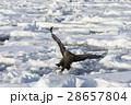 鳥 猛禽類 冬の写真 28657804